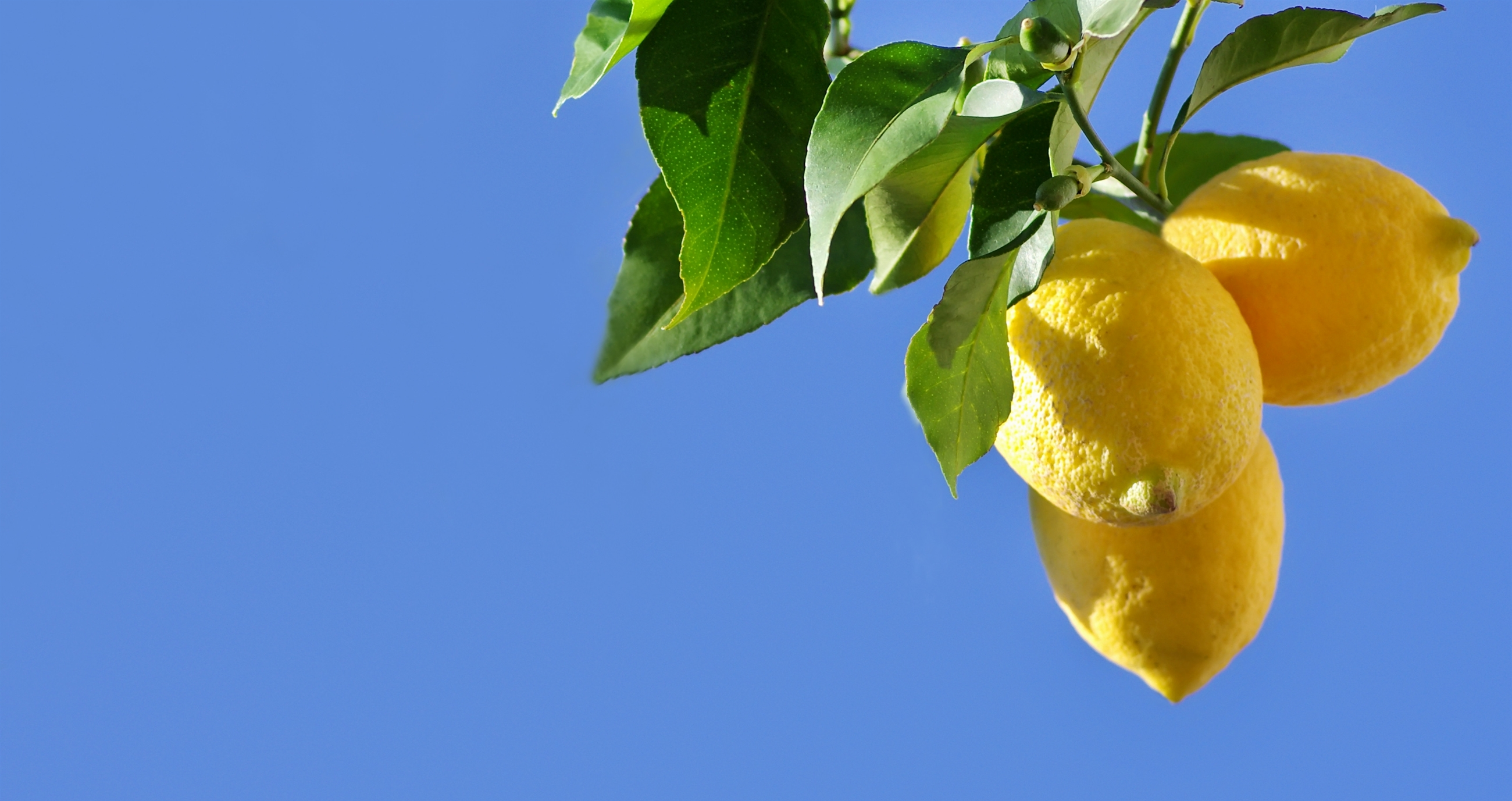 lemon-tree-cropped-2600