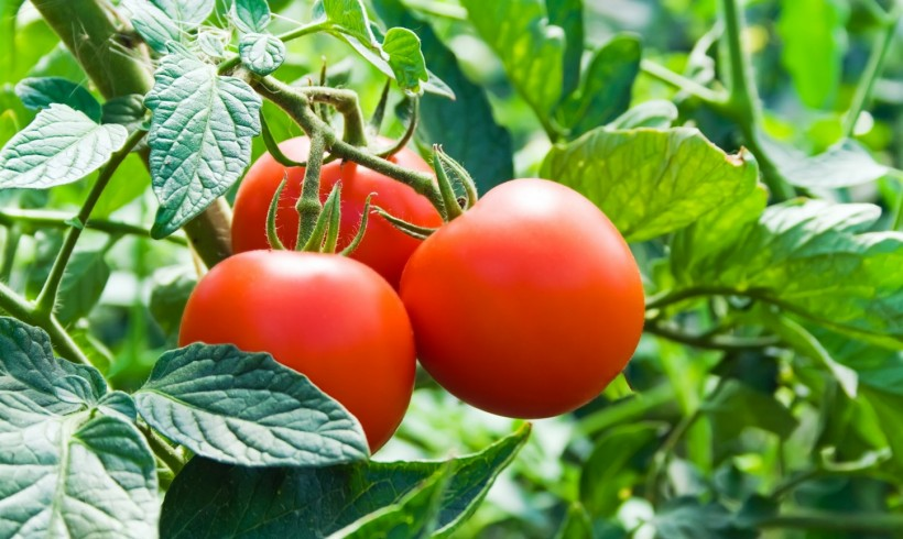I Bet You Didn't Know this About Tomatoes